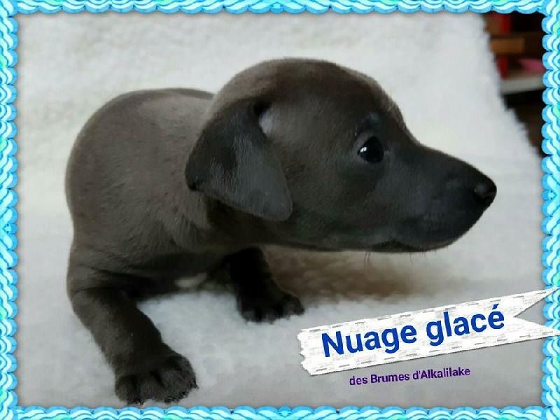 Nuage glacé - Petit Levrier Italien