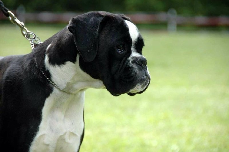 Henya des jardins de passiflore chien de race toutes races for Boxer jardin de passiflore
