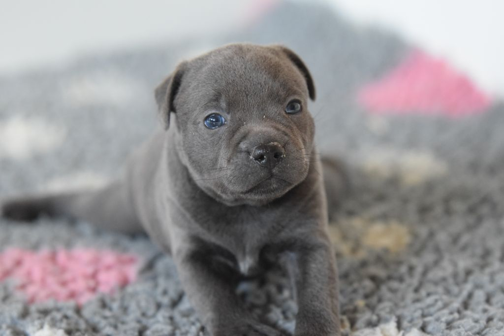 Blue Best - Chiot disponible  - Staffordshire Bull Terrier