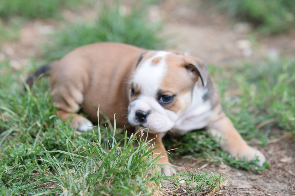 CHIOT - Bulldog continental