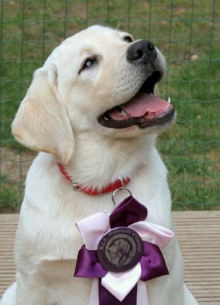 Du Cœur D'émeraude - Chiot disponible  - Labrador Retriever