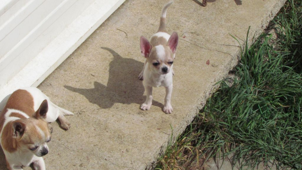 chiot Chihuahua Des Petits Zamours