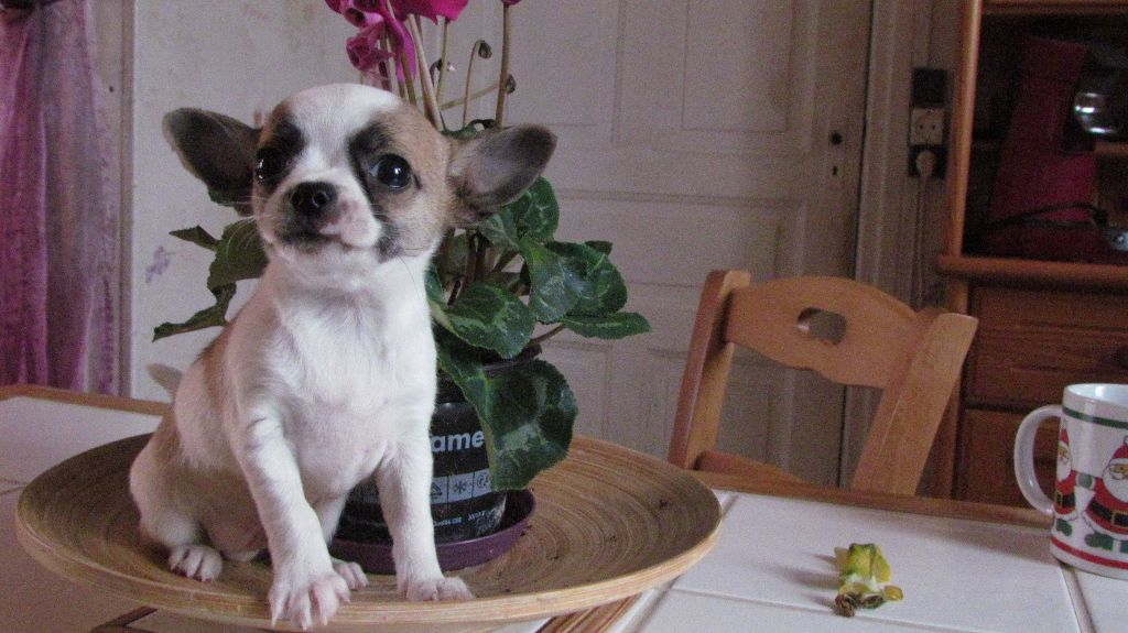 Des Petits Zamours - Chiot disponible  - Chihuahua