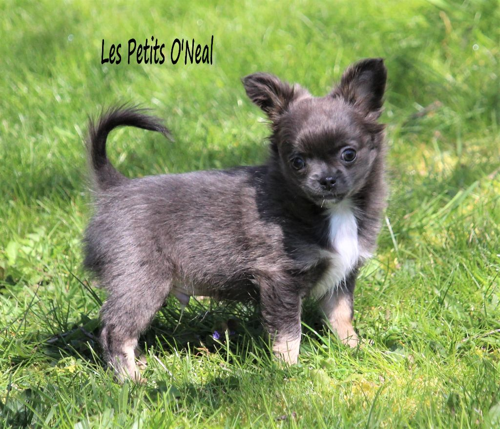 Des Petits O'neal - Chiot disponible  - Chihuahua