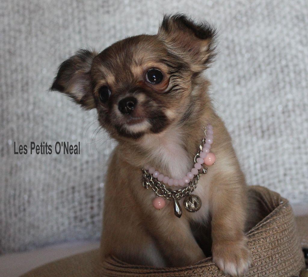 Des Petits O'neal - Chiot disponible  - Chihuahua
