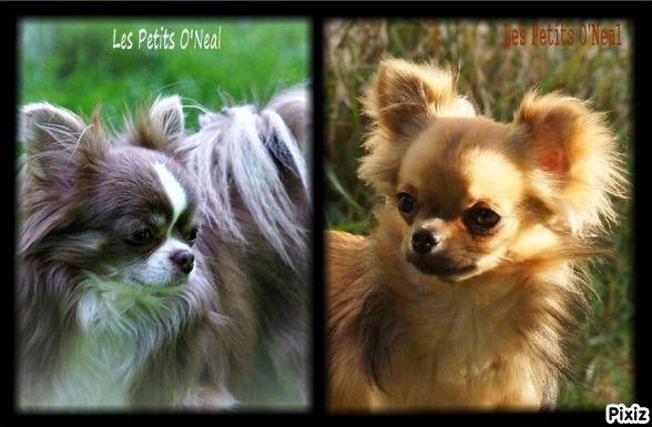 Des Petits O'neal - Chihuahua - Portée née le 09/01/2020