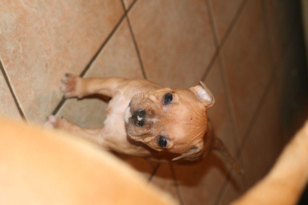 Des Gardiens Du Rêve Eternel - Chiot disponible  - American Staffordshire Terrier