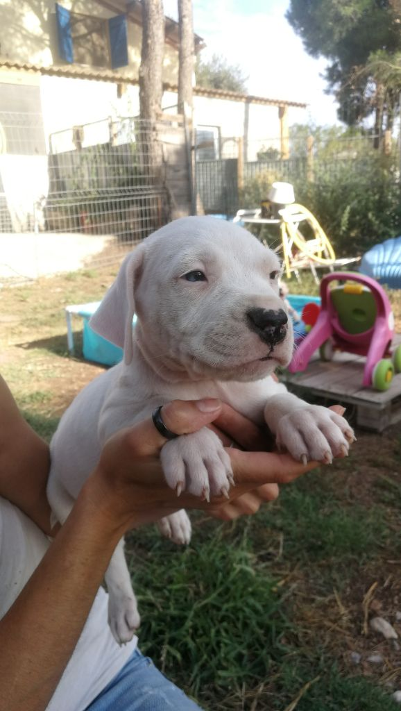De La Plaine D'Orion - Chiot disponible  - Dogo Argentino