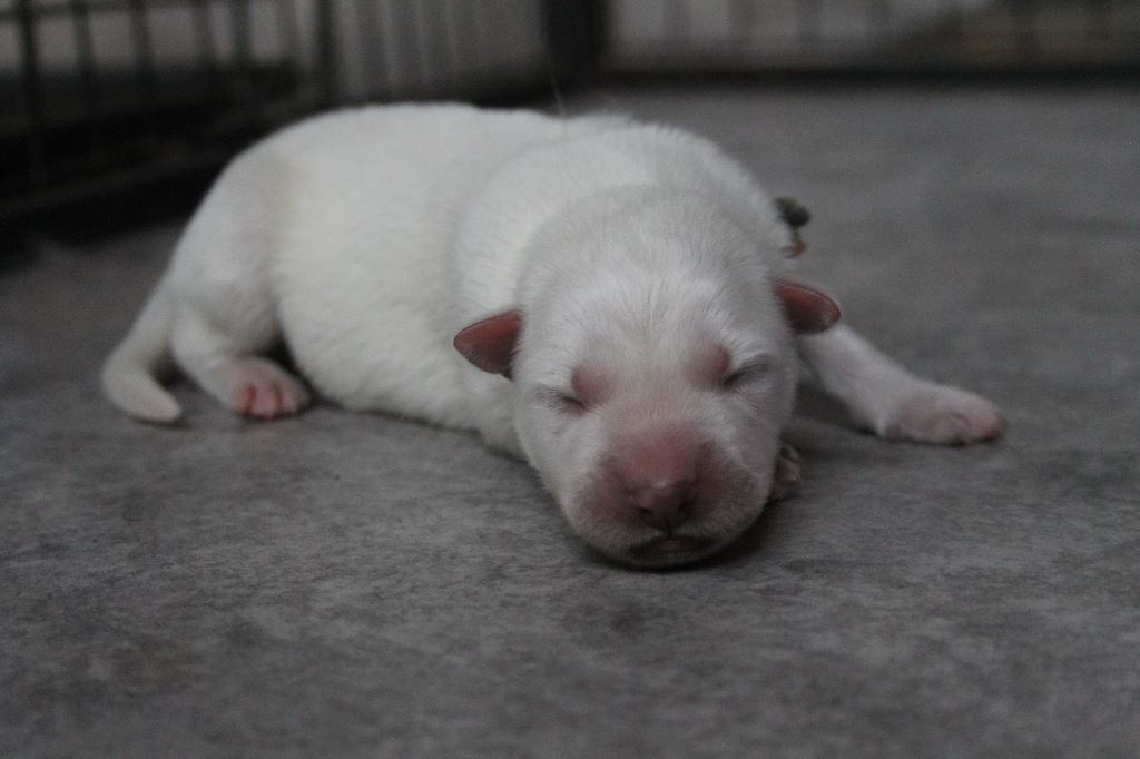 of Easy White - Chiot disponible  - Berger Blanc Suisse