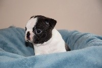 Boston Terrier - Du Domaine D'amserpa
