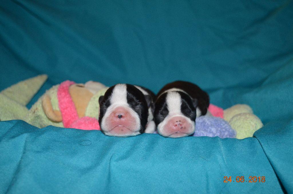 Des Petits Anges Noirs - Chiot disponible  - Boston Terrier