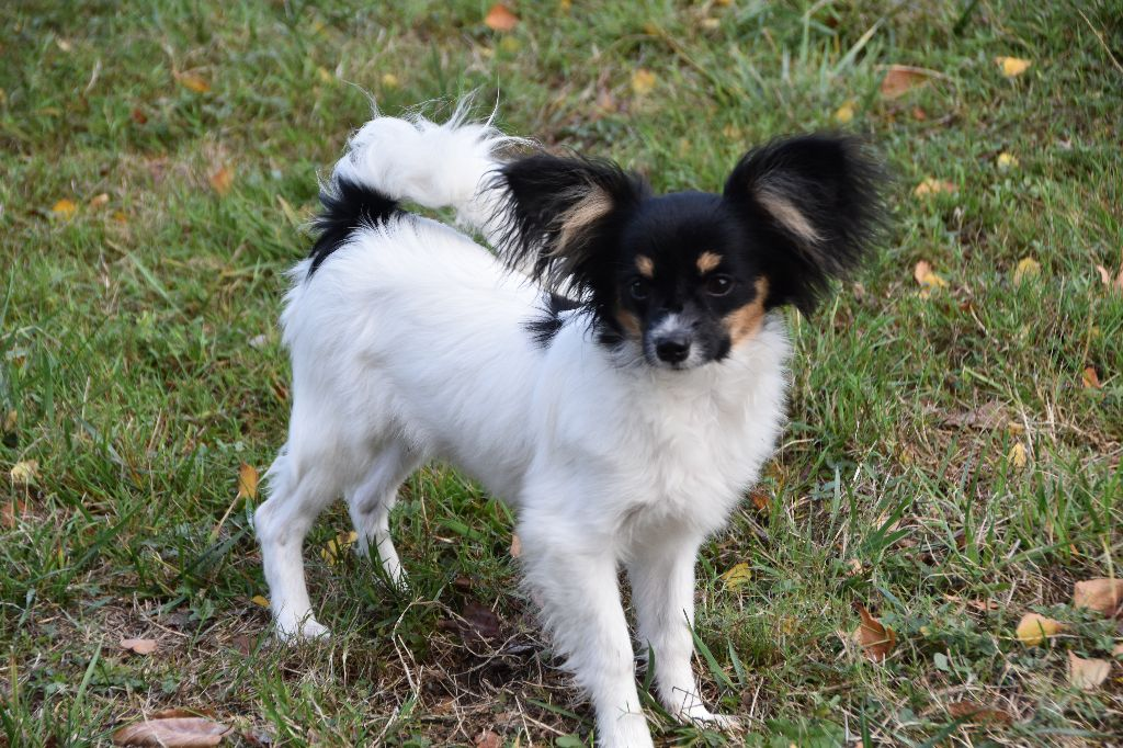 Des Nectars D'orion - Chiot disponible  - Epagneul nain Continental (Papillon)