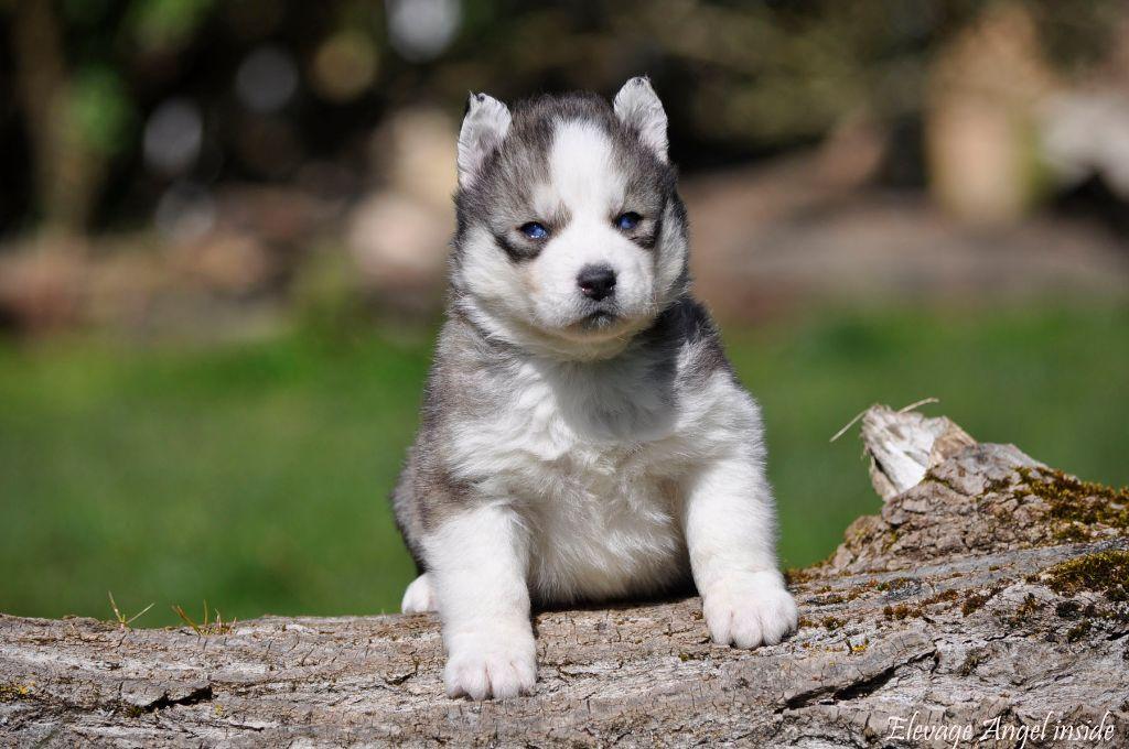 Angel Inside's - Chiot disponible  - Siberian Husky