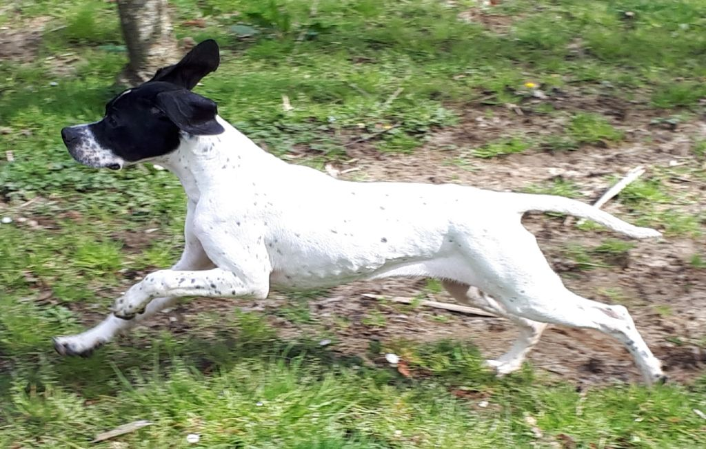 CHIOT - Pointer