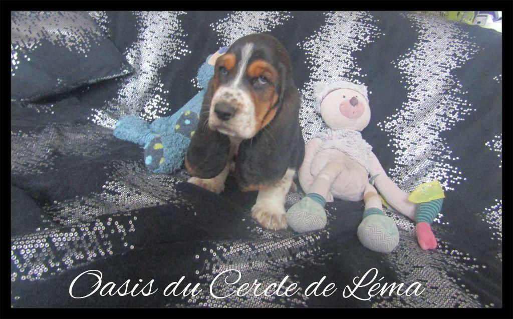 Du Cercle De Léma - Chiot disponible  - Basset Hound