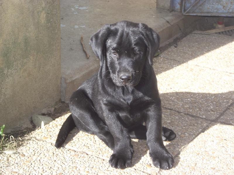 Chiot Labrador Retriever, male noir, mâle disponible en