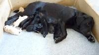 Labrador Retriever - de l'etang de la thiellerie