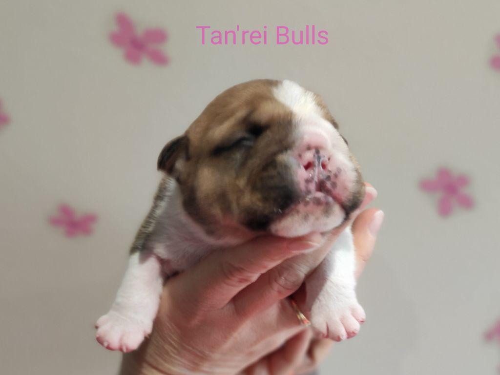 Tan'rei Bulls - Chiot disponible  - Bulldog Anglais