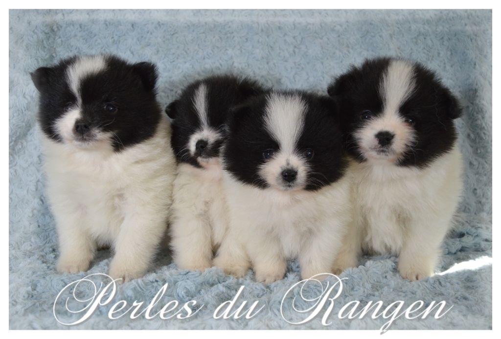 Des Perles Du Rangen - Spitz allemand - Portée née le 21/02/2020