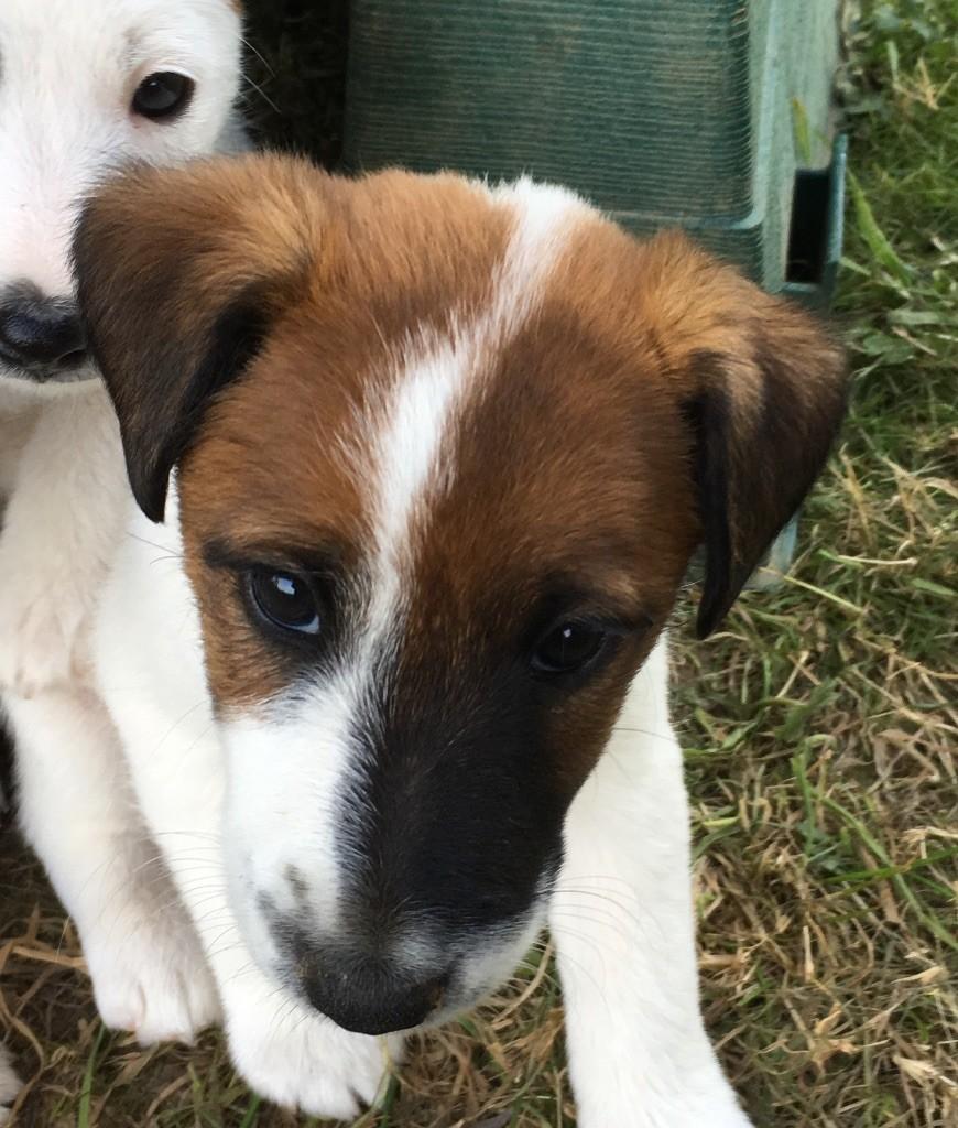 De La Vallée De L'airou - Chiot disponible  - Fox Terrier Poil lisse