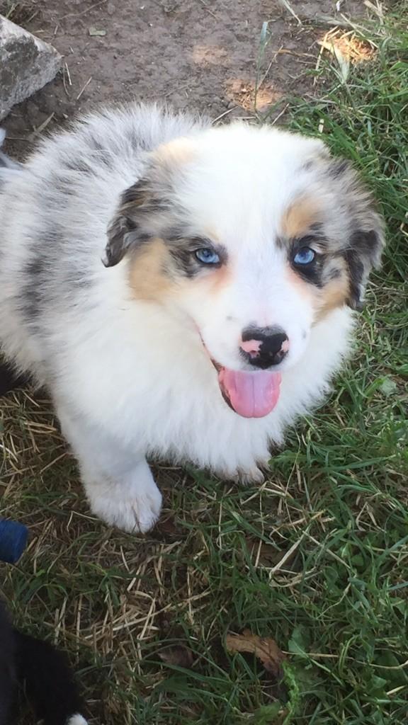 bleu merle o yeux bleus - Berger Australien
