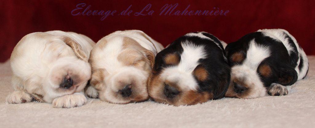 De La Mahonnière - Les chiots de Guess et ceux de Janelle ont 3 semaines
