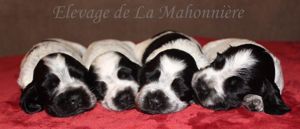De La Mahonnière - Les chiots de Debby et Porter ont 25 jours!