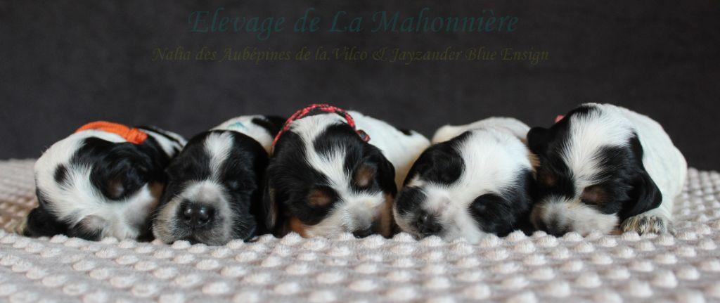 De La Mahonnière - Cocker Spaniel Anglais - Portée née le 05/08/2018