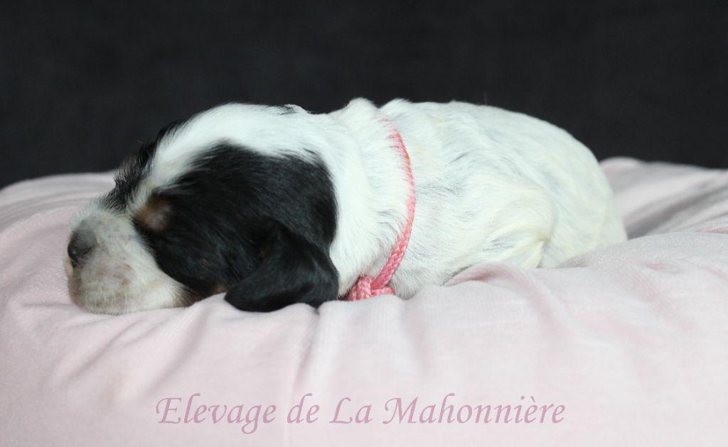De La Mahonnière - Chiot disponible  - Cocker Spaniel Anglais