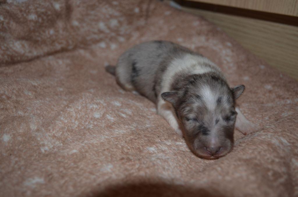 Femelle 1  - Shetland Sheepdog