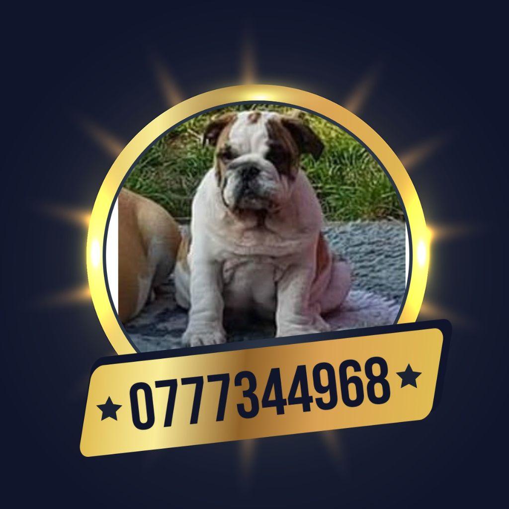 Des Bully Du Mordor - Chiot disponible  - Bulldog Anglais