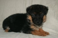 du clan des gladiateurs - Chiot disponible  - Berger allemand