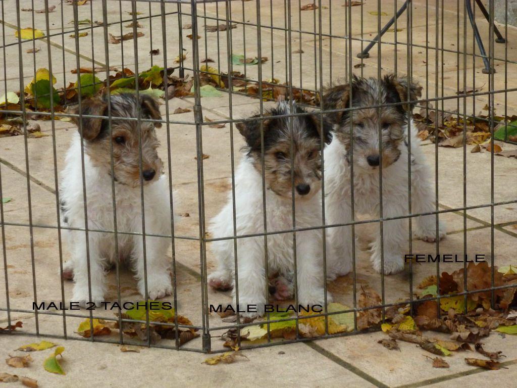 chiot Fox Terrier Poil Dur du manoir des presles