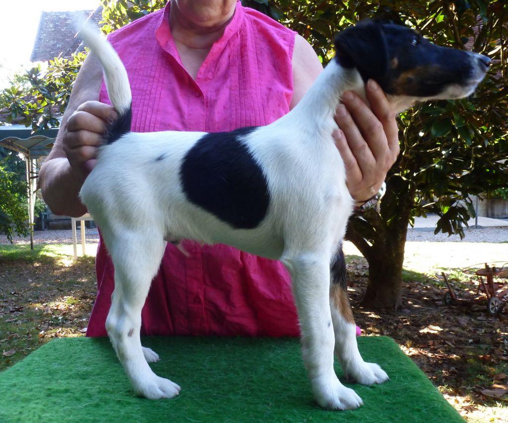 du manoir des presles - Chiot disponible  - Fox Terrier Poil lisse