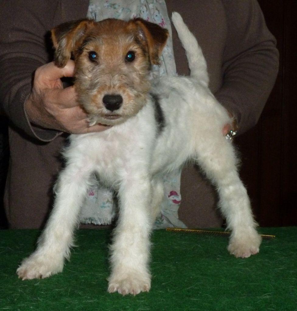 du manoir des presles - Chiot disponible  - Fox Terrier Poil Dur