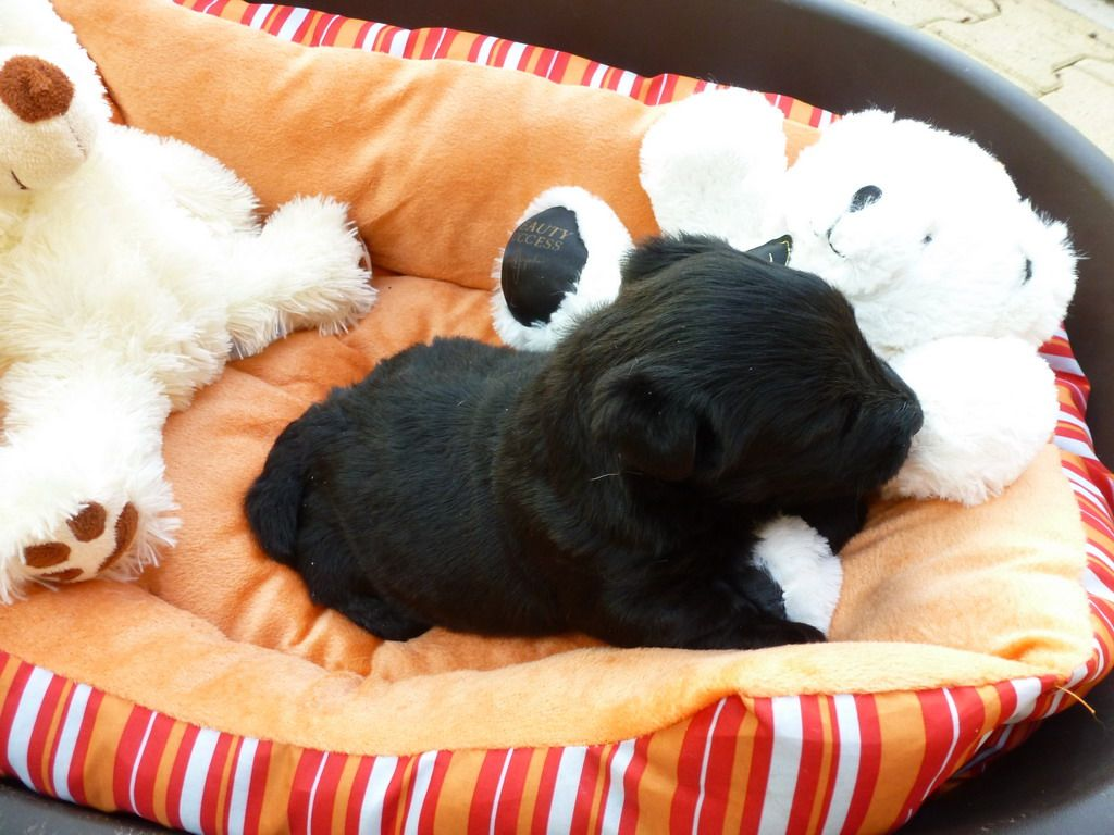 du manoir des presles - Chiot disponible  - Scottish Terrier