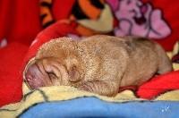 Shar Pei - Des oursons des sables