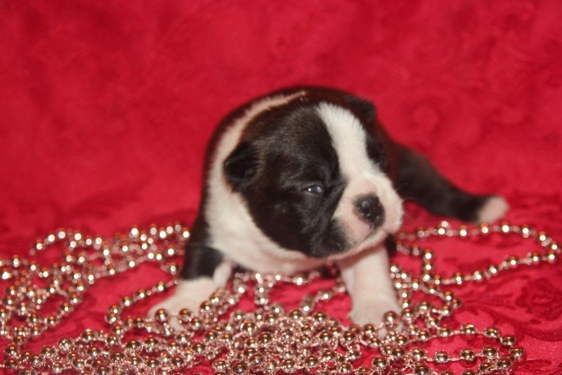 Du grand fresnoy - Chiot disponible  - Boston Terrier
