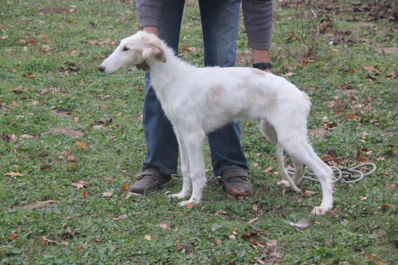 Du grand fresnoy - Chiot disponible  - Barzoi