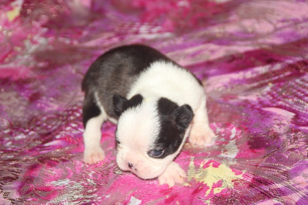 Du grand fresnoy - Chiot disponible  - Boston Terrier