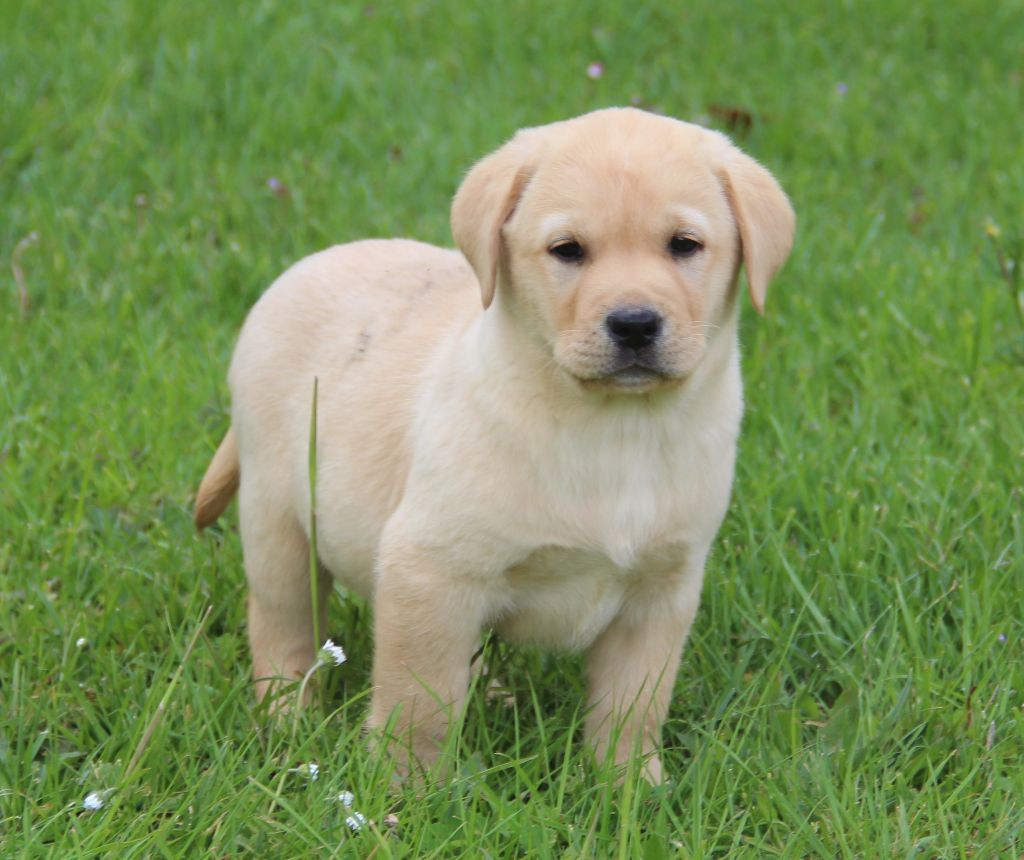 of misty dreams - Chiot disponible  - Labrador Retriever