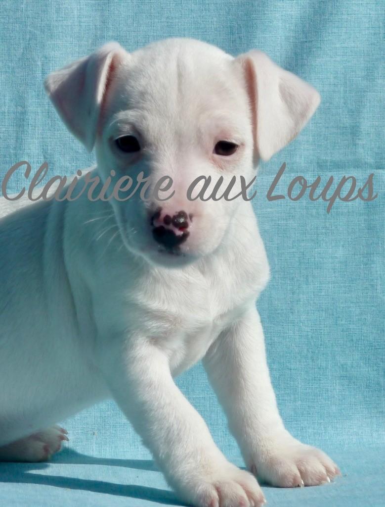 du Domaine de la Clairiere aux Loups - Chiot disponible  - Jack Russell Terrier