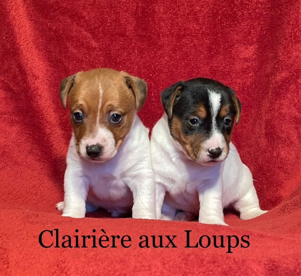 du Domaine de la Clairiere aux Loups - Jack Russell Terrier - Portée née le 29/05/2021