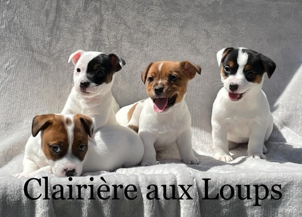 du Domaine de la Clairiere aux Loups - Jack Russell Terrier - Portée née le 11/04/2021