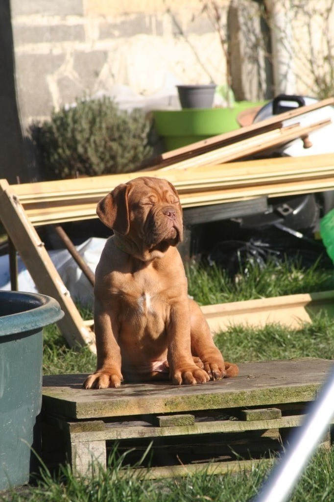 jaune O'Pumba - Dogue de Bordeaux