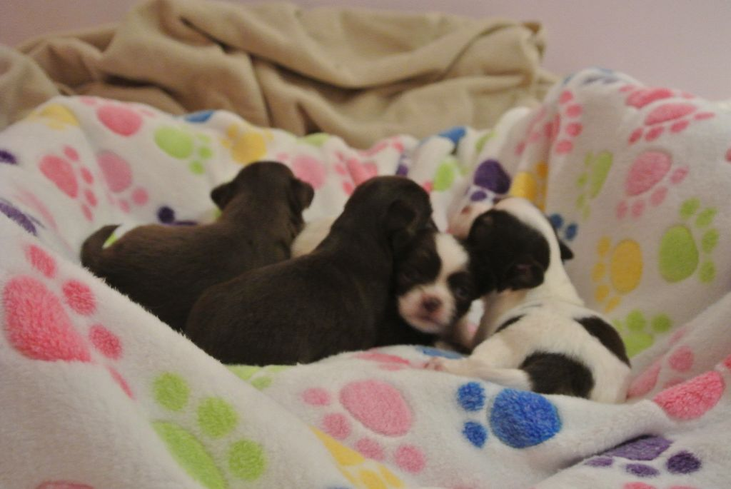 Des Tendres Molosses - Chiot disponible  - Chihuahua