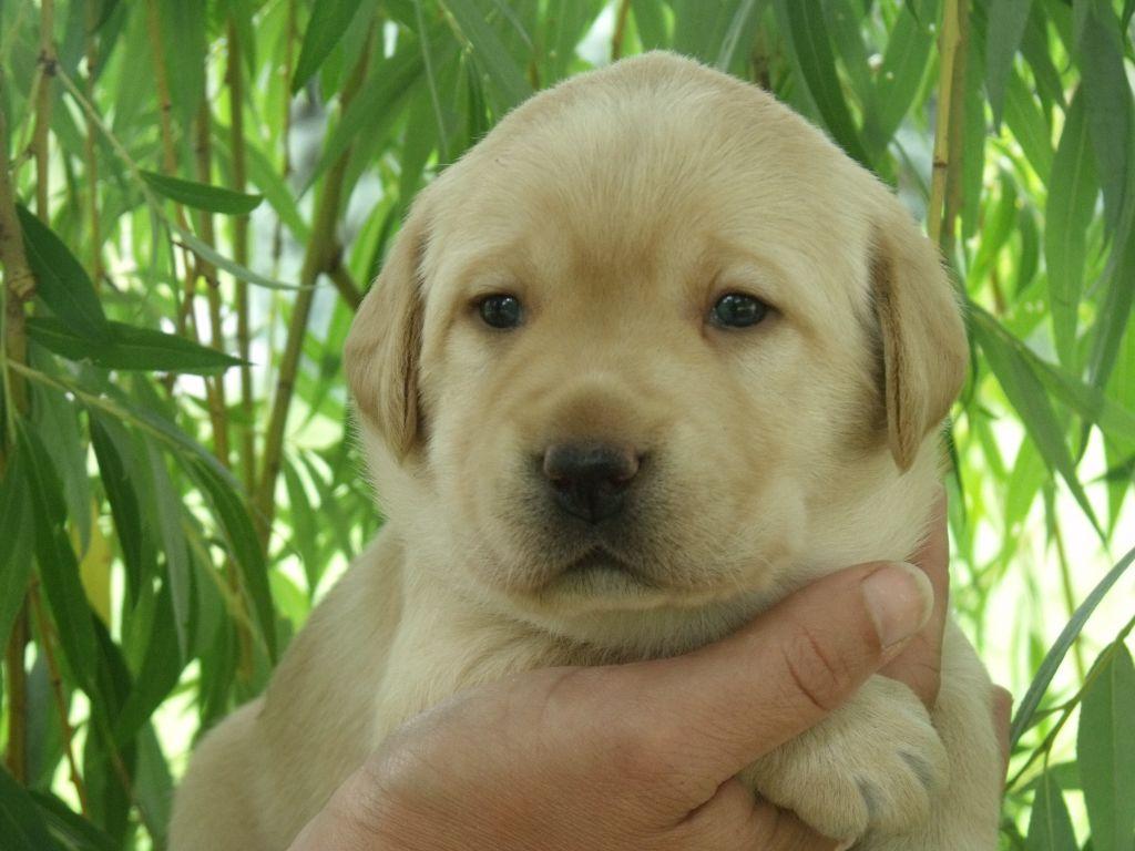 CHIOT COLLIER ROUGE - Labrador Retriever