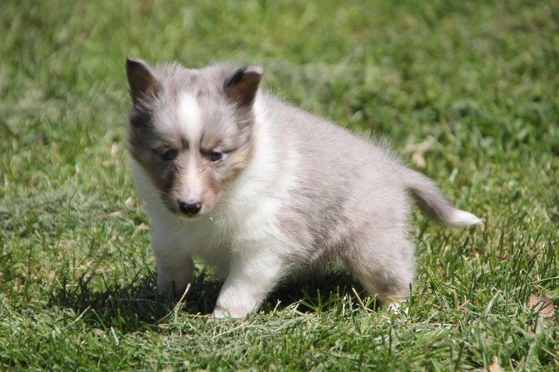 CHIOT - Shetland Sheepdog