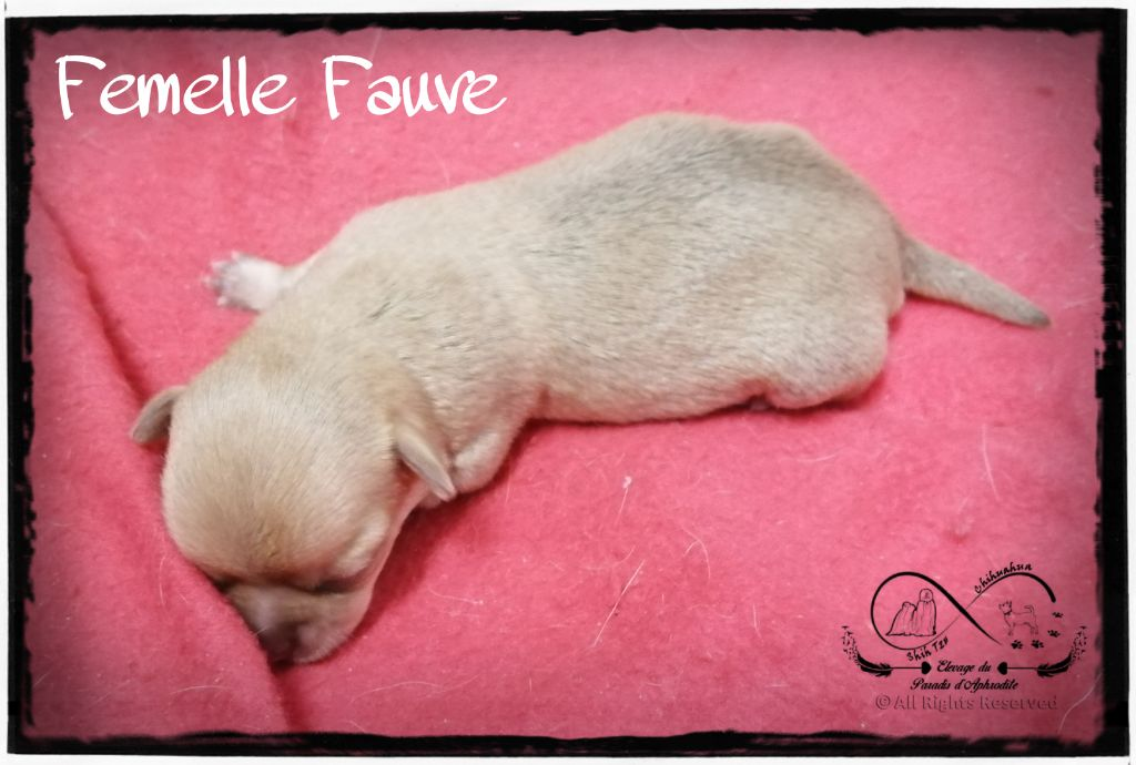 Du Paradis D'Aphrodite - Chiot disponible  - Chihuahua