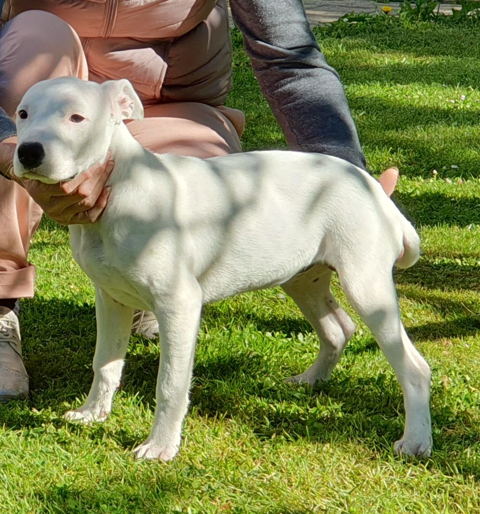 CHIOT - American Staffordshire Terrier